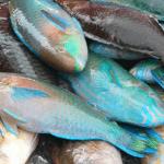 """""""Stop Berburu Ikan Kakatua!! Ikan Kakatua Penghasil Pasir Putih, Sangat Penting Bagi Lingkungan Kita"""""""