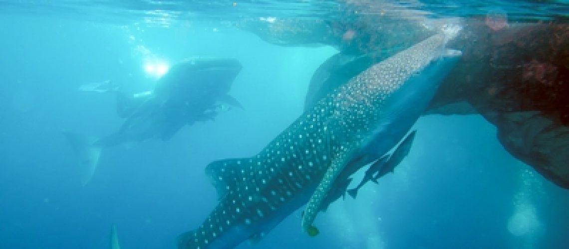 web hiu paus